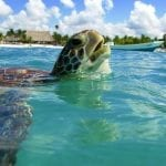 Schildkröte am Akumal Beach