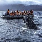 Gruppe von Touristen im Zodiac beobachten Wal, der aus dem Wasser steigt