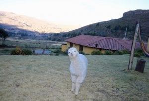 Das Alpaka-Haustier im Garten vom Casa de Mamayacchi