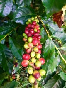 rote und grüne Kaffeebohnen am Strauch