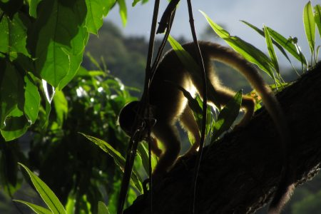 Ein Kapuzineraffe klettert einen Baum herunter im Madidi Nationalpark