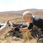 weißes Lama schnüffelt an Hand von Touristin in Peru