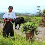 Ecuadorianerin bei der Arbeit auf dem Feld in schöner Tracht mit vorbeilaufender Kuh im Hintergrund