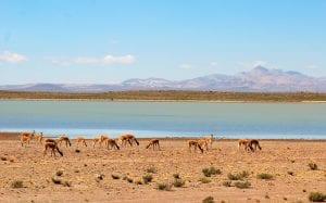 Vicuñas im Hochland von Peru