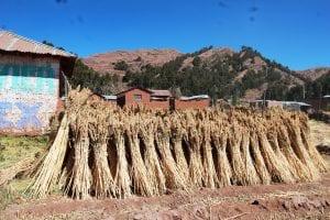 Gebündelter Quinoa wird am Rande eines Feldes vor einem Haus getrocknet