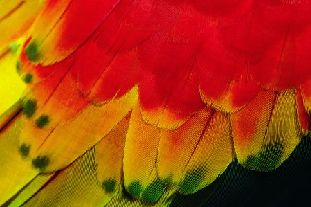 Buntes Federkleid von einem Papageien im peruanischen Amazonas-Gebiet