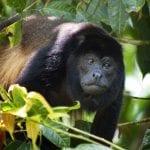 Brüllaffe sitzt auf Baum in Costa Rica