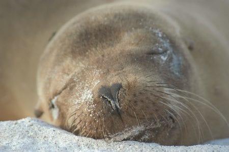 schlafender Seelöwe auf Galápagos